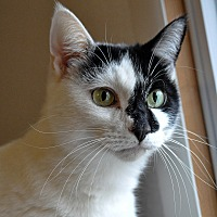 Domestic Shorthair Cat for adoption in Hanna City, Illinois - Missy