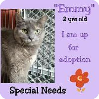 Domestic Shorthair Cat for adoption in Lexington, Kentucky - Emmy