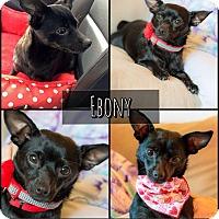 Adopt A Pet :: Ebony - West Richland, WA