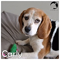 Adopt A Pet :: Carly - Chicago, IL