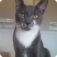 Adopt A Pet :: Brodie Lap Cat - Woodland Park, NJ
