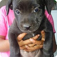 Adopt A Pet :: puppy 4 (RC) - Santa Ana, CA