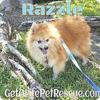 Adopt A Pet :: Razzle - Wellington, FL