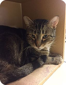 Domestic Shorthair Cat for adoption in Grand Ledge, Michigan - Trygg