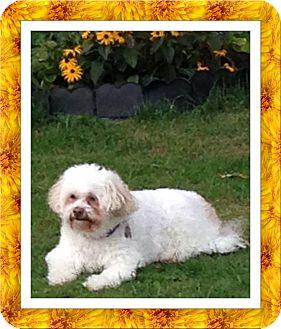 Bichon Frise Dog for adoption in Tulsa, Oklahoma - Fiji - NY