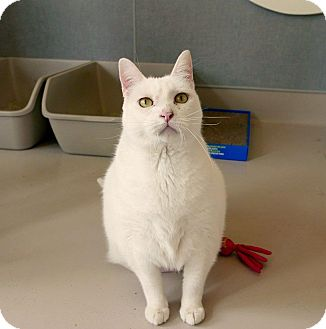 Domestic Shorthair Cat for adoption in Kingston, Washington - Nahla
