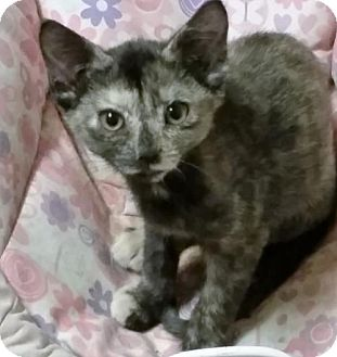 Calico Kitten for adoption in Weatherford, Oklahoma - Teeny