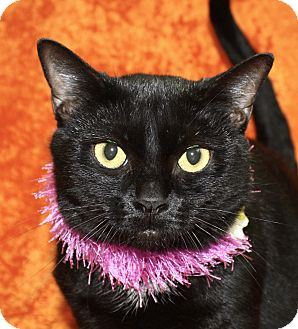 Domestic Shorthair Cat for adoption in Jackson, Michigan - Sassy
