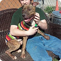 American Pit Bull Terrier Mix Dog for adoption in Zanesville, Ohio - Rugby - Urgent!