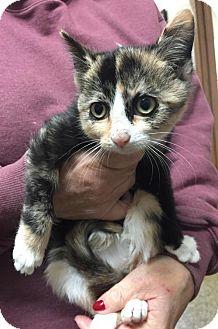 Calico Kitten for adoption in Livonia, Michigan - Sunshine