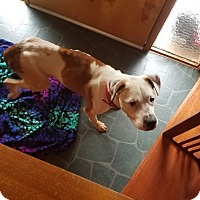 Boxer/American Pit Bull Terrier Mix Dog for adoption in Eastsound, Washington - ROXANNE