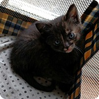 Domestic Mediumhair Kitten for adoption in Ypsilanti, Michigan - Ping, Pong and Quip