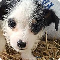 Adopt A Pet :: Joy! - Vacaville, CA