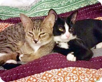 Domestic Shorthair Kitten for adoption in Brooklyn, New York - Lulu and Lolo, Enchanting Sisters