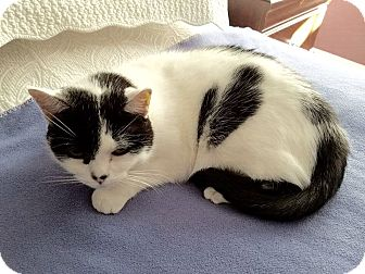 Domestic Shorthair Cat for adoption in Richmond, Virginia - Simpkin (Courtesy Listing)
