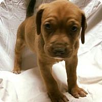 Adopt A Pet :: Katniss - Cary, NC