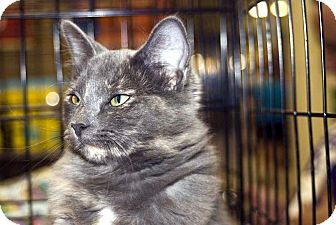 Domestic Longhair Cat for adoption in New Port Richey, Florida - Jennifer Juniper