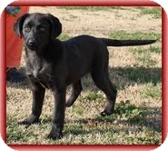 Labrador Retriever/Border Collie Mix Puppy for adoption in Washington, D.C. - Spice Girl