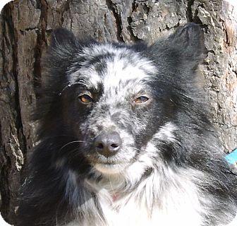 Australian Shepherd Dog for adoption in Elk River, Minnesota - Taz