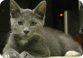 Hemingway/Polydactyl Kitten for adoption in Seminole, Florida - Axel