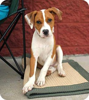 foxhound terrier lucky roscoe adopted puppy salem nh foxhound jack 7353
