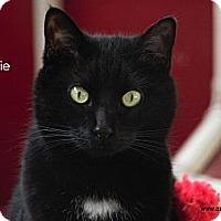Adopt A Pet :: Bootsie - St Louis, MO