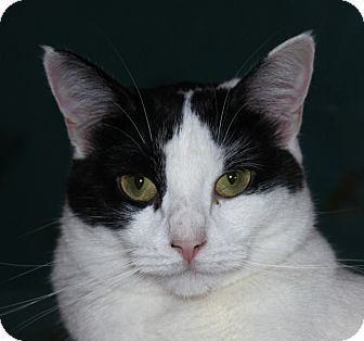Domestic Shorthair Cat for adoption in North Branford, Connecticut - Sugar Cookie