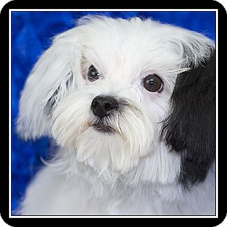 maltese rescue san diego san diego ca maltese havanese mix meet maggie may a 7525