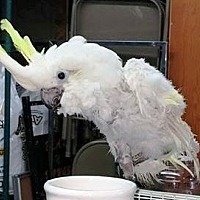 Cockatoo for adoption in Shawnee Mission, Kansas - Hughy (Honey)
