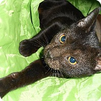 American Shorthair Cat for adoption in Bronx, New York - Ebby