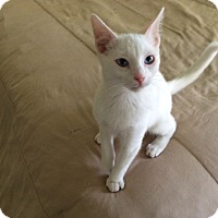 Adopt A Pet :: Frankie Blue Eyes - Scottsdale, AZ