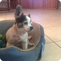 Adopt A Pet :: Pooh - Ocean Ridge, FL
