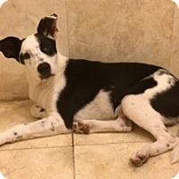 Adopt A Pet :: Max - Garland, TX