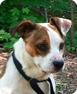 Jack Russell Terrier Mix Dog for adoption in Allentown, Pennsylvania - Russ