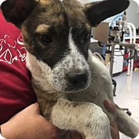Adopt A Pet :: Frank - Bedford, TX