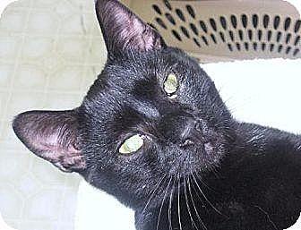 Domestic Shorthair Cat for adoption in New Bern, North Carolina - Cameron