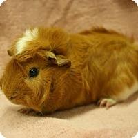 Guinea Pig for adoption in West Des Moines, Iowa - Gaspar