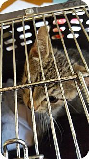 Domestic Shorthair Kitten for adoption in Fort Worth, Texas - Ted