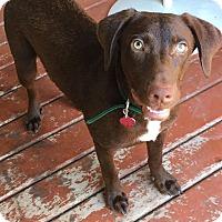 Adopt A Pet :: Choco - Austin, TX