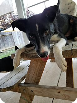 Border Collie Mix Dog for adoption in Corning, California - LADDY