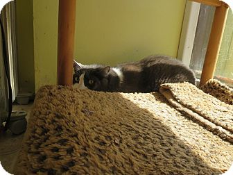 Domestic Shorthair Cat for adoption in Coos Bay, Oregon - Itty Bitty
