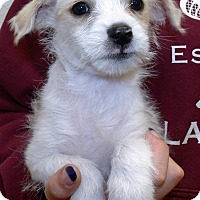 Wirehaired Fox Terrier/Terrier (Unknown Type, Small) Mix Puppy for adoption in Corona, California - MOE