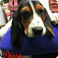 Adopt A Pet :: Dino - Virginia Beach, VA