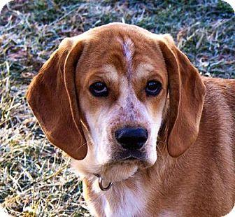 Spaniel (Unknown Type)/Beagle Mix Puppy for adoption in Fairfax, Virginia - Ben