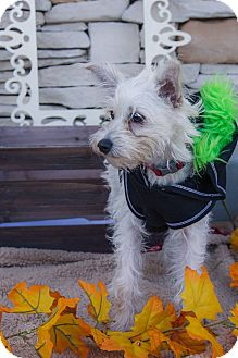Norfolk Terrier Mix Puppy for adoption in La Verne, California - Keanu