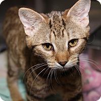 Adopt A Pet :: Tutu (Spayed) - Marietta, OH
