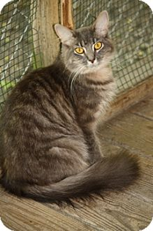 Domestic Mediumhair Cat for adoption in Dover, Ohio - Cara