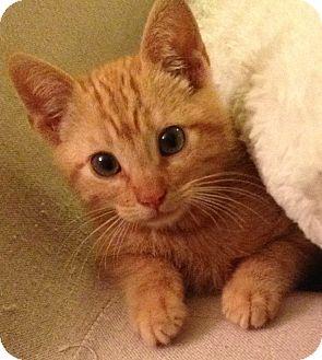 American Shorthair Kitten for adoption in Los Angeles, California - Ben- purr baby tabby