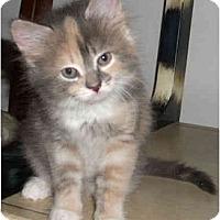 Adopt A Pet :: Angelita - Colmar, PA