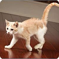 Adopt A Pet :: Kibou - Owensboro, KY